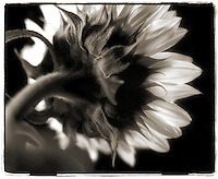 Black & white image of a sunflower.