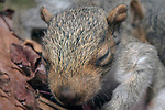 2 Week old Eastern gray squirrel pup in nest.  At this early age, the squirrels eyes are still closed, close-up.