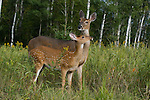White-tailed (Odocoileus virginianus) doe and fawn