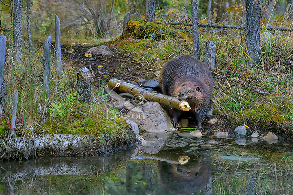 North American Beaver (Castor canadensis) carrying part of tree back to lodge area for winter food.  British Columbia, Canada.  Fall.