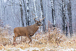 Mature white-tailed buck during the rut in northern Wisconsin.