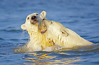 polar bear cubs, Ursus maritimus, playing, Arctic National Wildlife Refuge, Alaska, Arctic Ocean, polar bear, Ursus maritimus