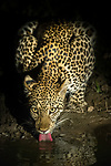 Adult female leopard (Panthera pardus) drinking from a waterhole at night. South Luangwa National Park, Zambia.