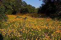 Oak trees in field of Coreopsis wildflowers