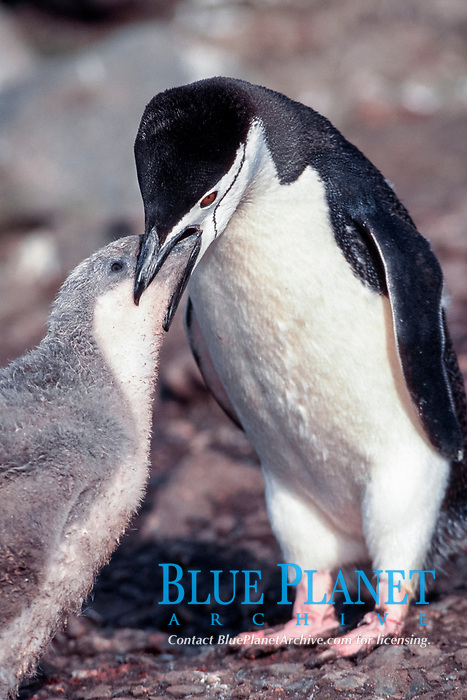 chinstrap penguin, Pygoscelis antarctica, feeding regurgitated krill to 6 week old chick ( both parents commute full-time to meet demands of growing chicks ) Hannah Point, Livingston Island, Peninsula, Antarctica