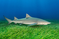 Lemon Shark (Negaprion brevirostris) on endangered Johnson's Seagrass (Halophila johnsonii) at Tiger Beach; a popular shark diving spot on Little Bahama Bank in the Northern Caribbean.