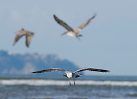 Laughing gull, Larus atricilla, and brown pelicans, Pelecanus occidentalis, at the mouth of the Tarcoles River, Costa Rica