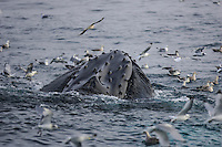Humpback whales Megaptera novaeangliae feeding and pushing water through baleen plates Kvitøya, Arctic ocean