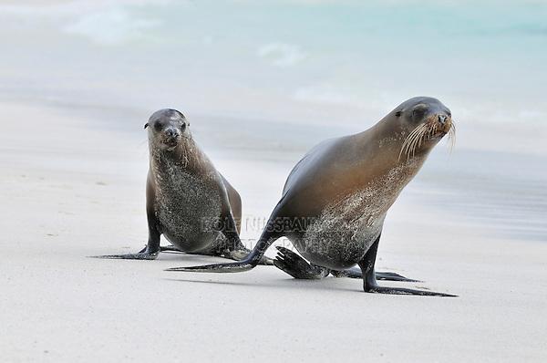 Galapagos Sea Lion (Zalophus wollebaeki), adults at beach, Espanola Island, Galapagos, Ecuador, South America