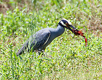 Adult yellow-crowned night-heron with freshly caught crayfish. Many of these birds were aggressively foraging for crayfish at midday.