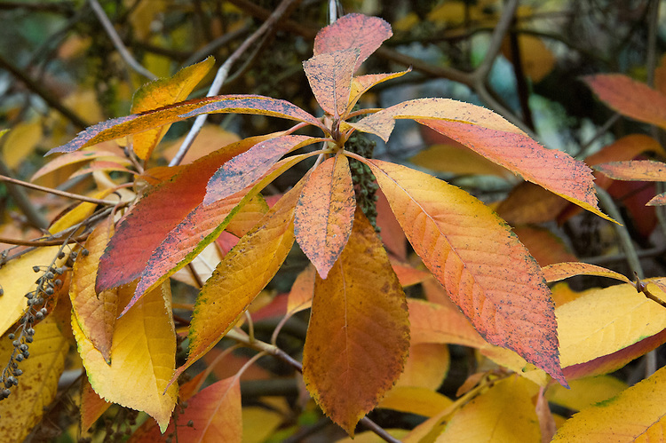 Autumn foliage of Clethra monostachya, early November. A deciduous shrub or small tree with scented white flowers in midsummer. Native of W. Szechwan, China.