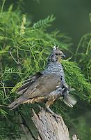 Scaled Quail, Callipepla squamata, adult, Starr County, Rio Grande Valley, Texas, USA