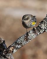 Yellow-rumped Warbler in Winter Plumage.