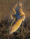 Canada, British Columbia, Boundary Bay Regional Park, barn owl (Tyto alba)