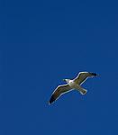 www.travel-lightart.com, ©Paul J. Trummer, Sea-Gull in flight over the coast of Novo Sancti Petri, Chiclana, Costa de la Luz, Cadiz, Andalucia, Spain, animalia, Aves, Fauna, gull, Lebewesen, Möwe, Möwen, Möwenvögel, sea-gull, Tier, Tierbild, Tierbilder, Tiere, Vertebrata, Warmblüter, Wasservögel, Watvögel, Wirbeltier, Wirbeltiere, animal, animals, bird, birds, gull bird, gull birds, living being, sea gull, sea gulls, vertebrate, vertebrates, wader, warm blooded animals, warm blooded-animal, 7/4-062, Laridae, Larus species, Moewen, nature, Voegel, wildlife, Natur, Andalusia, Barrosa Beach, Chiclana de la Frontera, Andalusien, Barrosa, Barrosa Strand, Küste des Lichts, Spanien