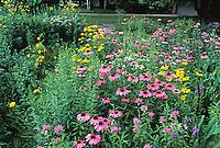 Echinacea (Coneflower) in meadow mix.