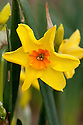Daffodil (Narcissus 'Acapulco'), a Division 8 Tazetta variety, mid February.