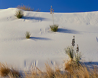 Morning light on yuccas on the white sand dunes; White Sands National Monument, NM