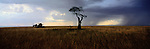 Surreal visions on the East African savannah, a group of giraffes makes a meal of sparse acacia trees in Maasai Mara, Kenya.