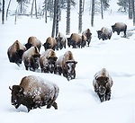 Herd of American bison (Bison bison) in deep snow in the Firehole River valley, Yellowstone National Park, Wyoming, Yellowstone, January.