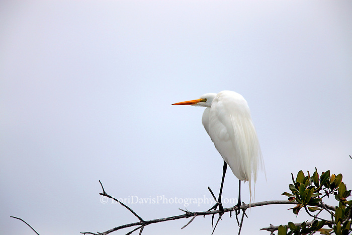 Great Egret on Branch #E7