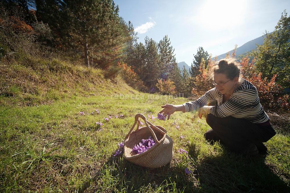 Evelyne Martin Abadir, a farm helper, harvests saffron flowers at La Ferme Lavancia, Puget-Théniers, France, 25 October 2013
