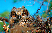 A juvenile Great Horned Owl.