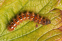 Knot Grass moth caterpillar {Acronicta rumicis} Peak District National Park, Derbyshire, UK. Septermber.