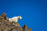 Mountain goat, Oreamnos americanus, in the Buckhorn Mountain Wilderness,, Olympic National Forest, Olympic National Park, Washington, USA