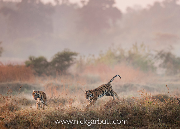 Young Bengal Tigers (Panthera tigris tigris) (14 -15 months old) playing in open grasslands on the edge of dry forest. Tadoba-Andhari Reserve, Marharastra, India.