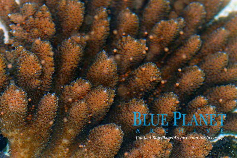 table coral, Acropora circulosa, eggs rise from the polyps; these corals spawn annually in July about a week after the full moon, Guam, Micronesia, Pacific Ocean