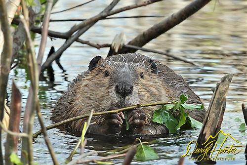 Beaver, Yellowstone National Park, castor