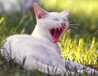 A yawning white cat, Daytona Beach, FL. (Photo by Brian Cleary/www.bcpix.com)
