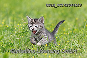 REALISTIC ANIMALS, REALISTISCHE TIERE, ANIMALES REALISTICOS, cats, paintings+++++,USLGSC162044525,#A#, EVERYDAY ,photos,fotos,pounce,cat,cats,kitten,kittens,Seth