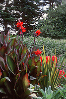 Canna indica 'Red King Humbert' with Yucca