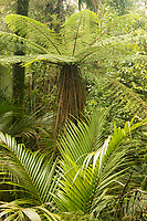Tree fern-ponga- and Nikau Palm, Paparoa National Park, Punakaiki, Buller Region, West Coast, New Zealand, NZ