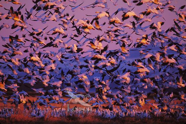 Snow Geese (Chen caerulescens) sunrise, Lower Klamath NWR, Oregon.  Spring