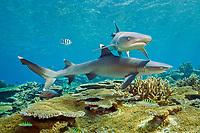 whitetip reef sharks, Triaenodon obesus, swimming over coral reef, Beqa Lagoon, Viti Levu, Fiji, South Pacific Ocean