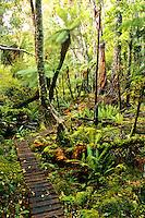 Boarded walk through rainforest on Rakiura Track, Stewart Island, New Zealand