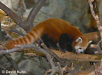 0313-1102  Red Panda, Ailurus fulgens  © David Kuhn/Dwight Kuhn Photography