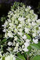 Hydrangea paniculata 'Bombshell' in bloom