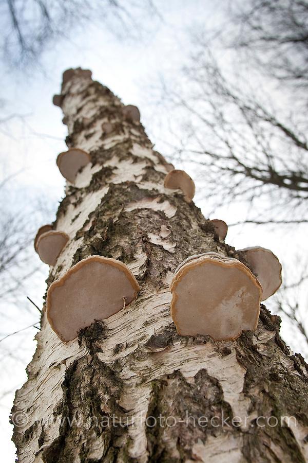 Echter Zunderschwamm, Baumpilz an Birkenstamm, Totholz, Fomes fomentarius, Tinder Fungus, Hoof Fungus, Tinder Conk, Tinder Polypore, Ice Man Fungus