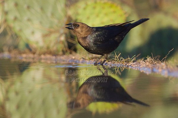 Brown-headed Cowbird, Molothrus ater, male drinking, Uvalde County, Hill Country, Texas, USA, April 2006