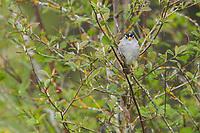 White-crowned Sparrow (Zonotrichia leucophrys). Washington County, Oregon. April.