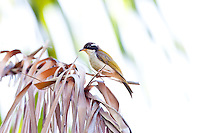 White-Throated Honeyeater, Jabiru Camp, Kakadu NP, NT, Australia