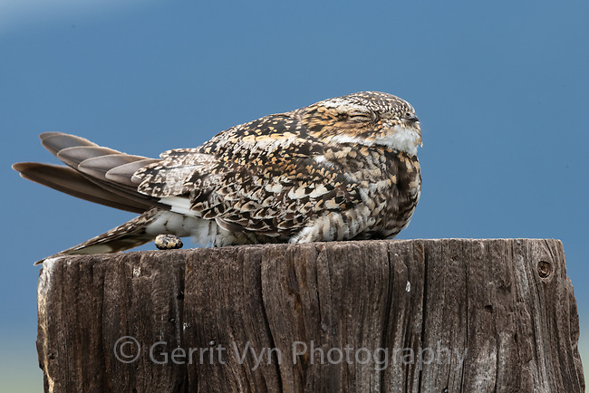 Common Nighthawk (Chordeiles minor). Lake County, Oregon. June.