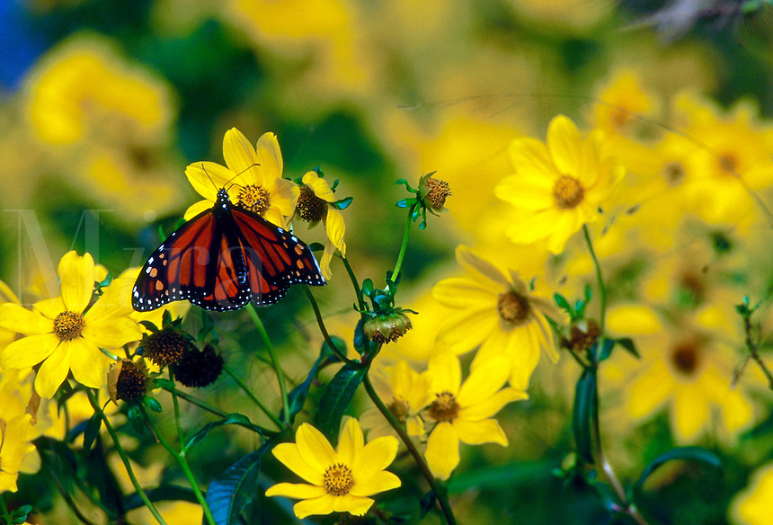 Monarch butterfly on yellow Primrose flowers.