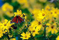Monarch butterfly on yellow Primrose flowers.
