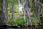 Spanish moss veils a swamp at Magnolia Plantation, Charleston, SC, USA