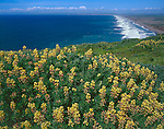 Point Reyes National Seashore, CA<br /> Yellow bush lupine (Lupinus arboreus) blooming on the upper cliffs overlooking Point Reyes Beach South